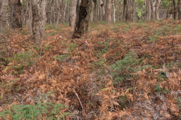 bushland-in-summer-with-brown-bracken