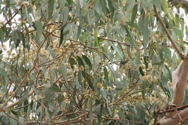 Flowering-eucalypt-with-white-flowers