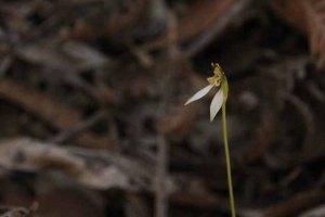 parsons-Bands-Orchids-