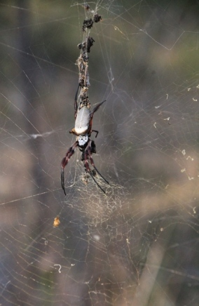 Large-spider-with-red-legs