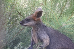 Swamp-Wallaby-eating-native-plants