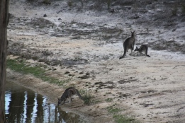 Kangaroos-drinking-from-the dam