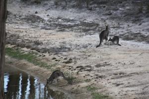 Kangaroos-drinking-from-the dam