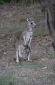 Eastern-Grey-Kangaroo-with-joey