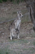 Eastern-Grey-Kangaroo-with-joey