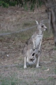Eastern-Grey-Joey-in-pouch-with-open-pouch
