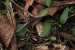 emerging-orchid-leaves-in-bushland