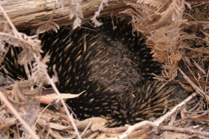 echidna-with-damaged-spines