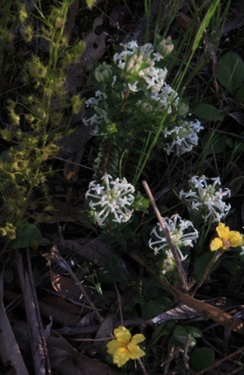 In many places, a few species of wildflowers are growing together. Here we have Rice Flowers, Goodenia and Pale Sundews.