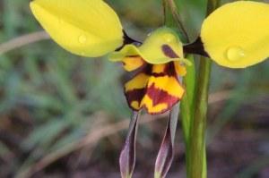 Tiger-orchid-flower-Diuris-sulphurea-in-flower