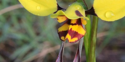 Tiger-orchid-flower-Diuris-sulphurea-in-flower