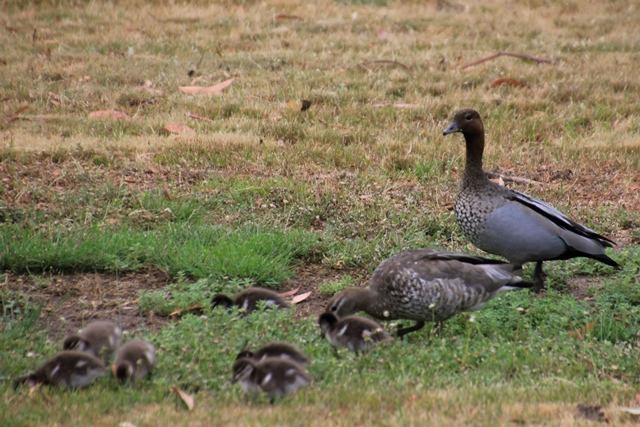 Pair-Australian-Wood-Duck-with-Ducklings