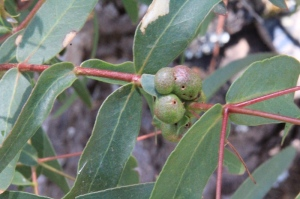 Gall-Wasp-Casings