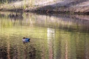 pair-of-Australian-Wood-Ducks-woth-duckling