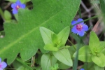 Pimpernel-flowers-with-weedy-leaves