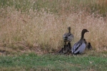 Duck-Faamily-heading-into-long-grass
