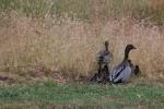 Duck-Faamily-heading-into-long-grass