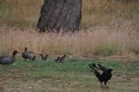 White-Winged-Choughs-landing-near-Australian-Wood-Ducks