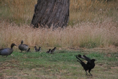 White-Winged-Choughs-landing-near-Australian-Wood-Ducks