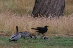 White-Winged-Choughs-with-Australian-Wood-Ducks