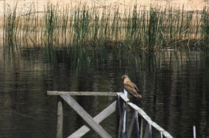 Swamp-Harrier-sitting-on-jetty-rail