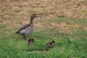 Female-Australian-Wood-Duck-with-Two-Ducklings