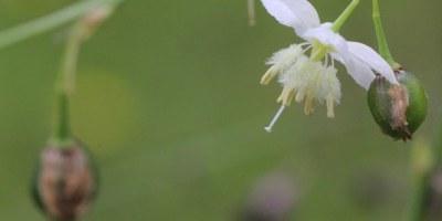 pale-vanilla-lily-white-flower-no-purple