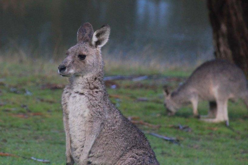 EAstern-Grey-Kangaroos-background-lake-grass
