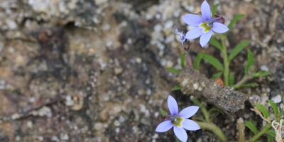 poison-lobelia-blue-flowers-sandy-soil