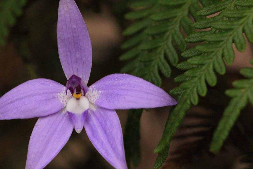 Waxlip-Orchid-with-bracken-fronds