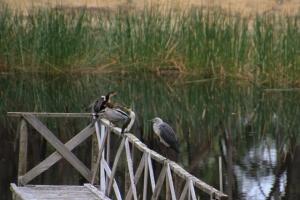 cormorants-ducks-heron-on-jetty-railing