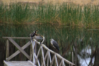 cormorants-ducks-heron-on-jetty-railing