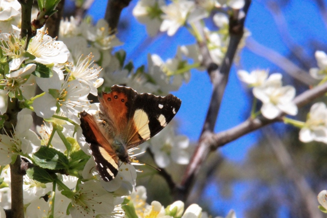 Yellow-admiral-butterfly-on-spring-blossom