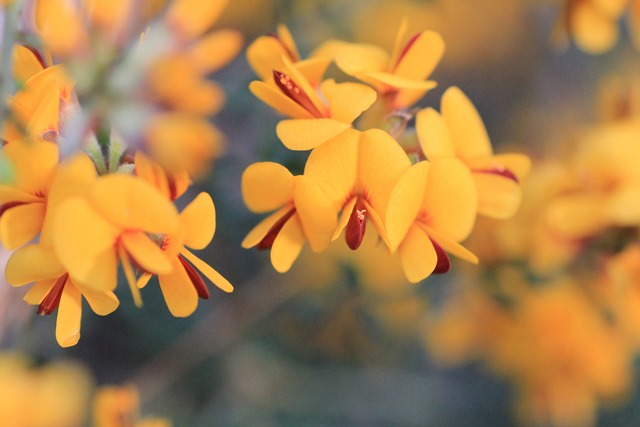 bush-pea-flowers-photographed-in-spring.