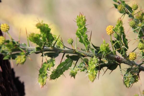 Hedge-Wattle-thorns-leaves