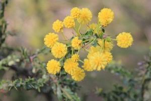 Hedge-Wattle-flowers
