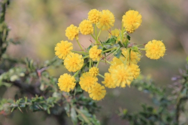 Hedge-Wattle-flowers