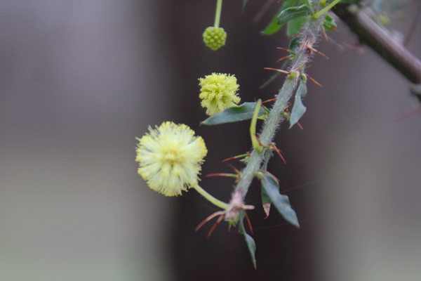 hedge-wattle-flowers-leaves-thorns