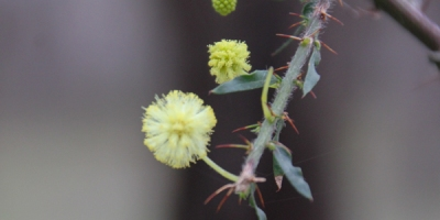hedge-wattle-flowers-leaves-thorns