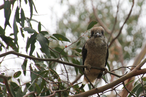 Young-kookaburra-sitting-in-small-tree