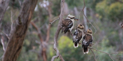 Female-Kookaburra-with-two-chicks-in-eucalyptus-tree