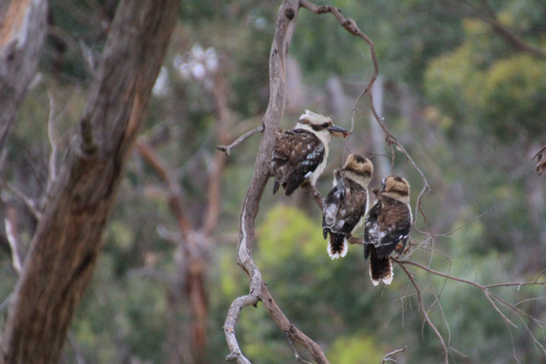 Two Kookaburra Chicks