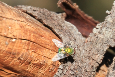 tachinid-fly-sitting-on-acacia-trunk