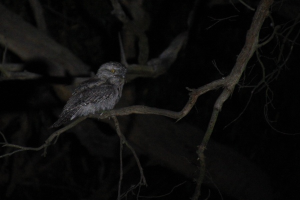 Tawny-frogmouth-on-branch-in-darkness
