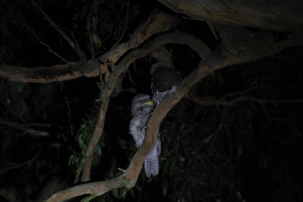 Tawny-Frogmouth-adult-and=chick=sitting-in=branch-in-darkness