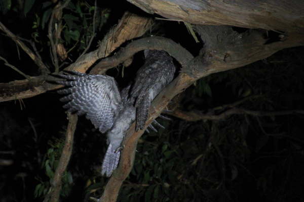 Adult-and=juvenile-Tawny-Frogmouth-on-branch-in-darkness