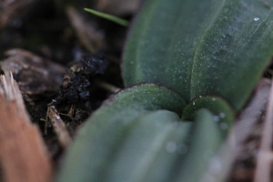 mystery-plant-leaves-potentially-orchid
