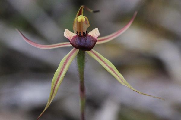 Plain-Lip Spider-orchid (Caladeniaclacigera)