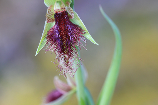 Purple Beard-orchid (Calochilus robertsonii)