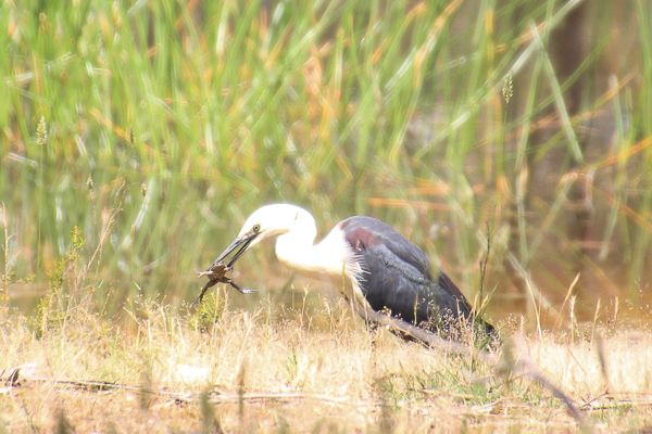 Frog Lunch for this White Necked Heron